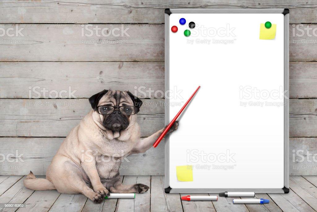 ernstige pug puppy hondje zitten, wijzend op leeg wit bord met gele notities en magneten, op houten vloer en achtergrond foto