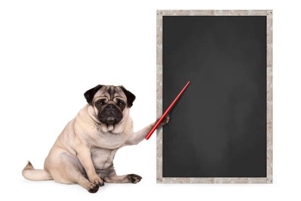 kırmızı işaretçi tutan boş yazı tahtası işaret yanında oturan ciddi pug köpek yavrusu - safkan köpek stok fotoğraflar ve resimler