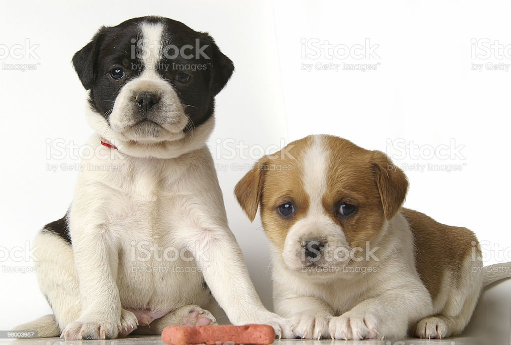 Seriously Cute Pups royalty-free stock photo