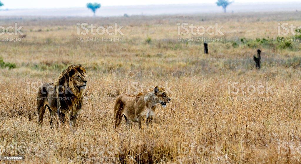 Seronera Lions stock photo