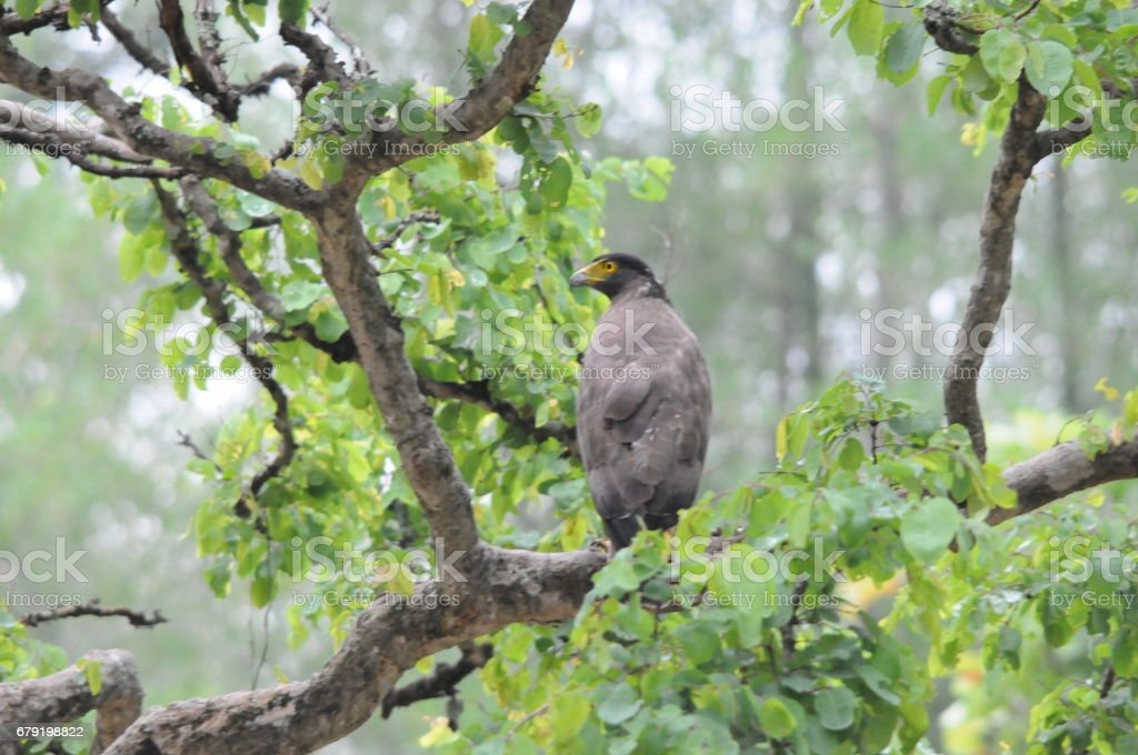 Serpent eagle photo libre de droits