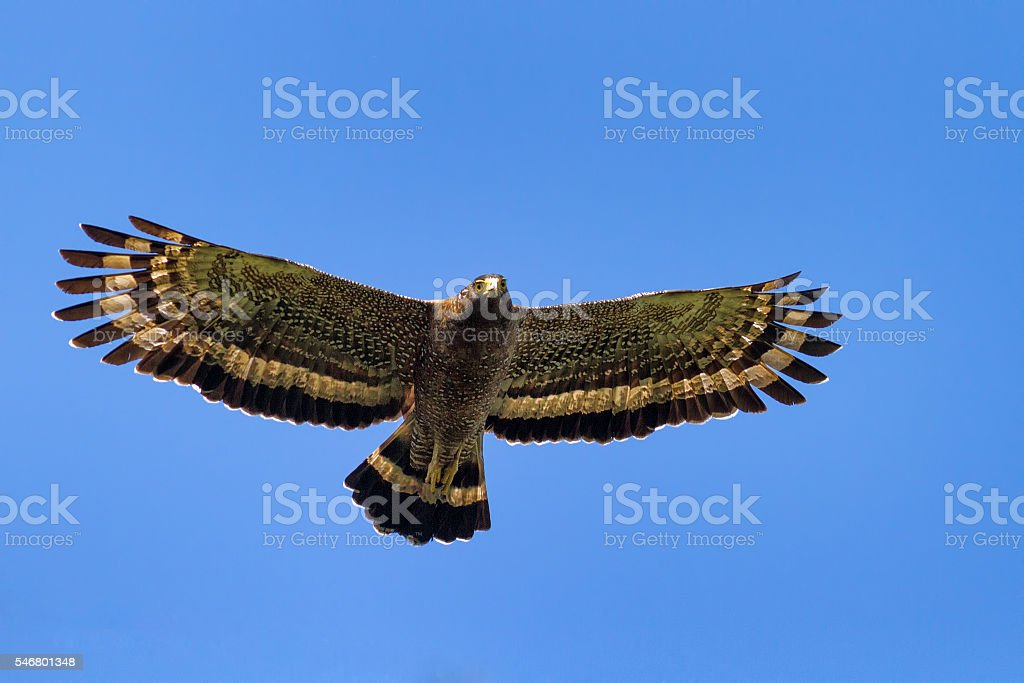 Serpent Eagle soaring in the blue sky stock photo