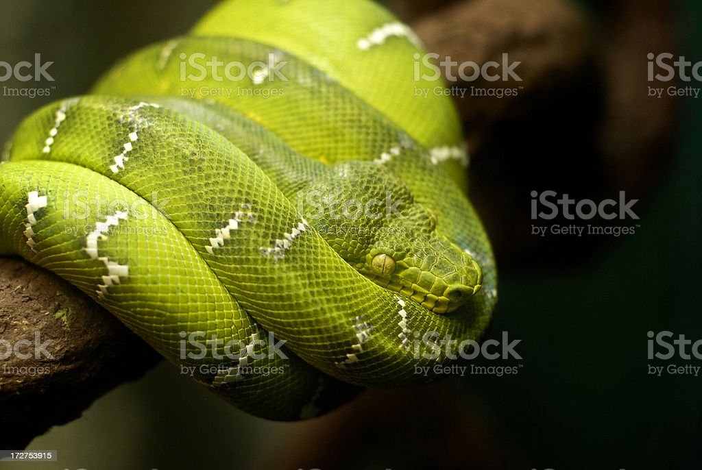 Serpent royalty-free stock photo