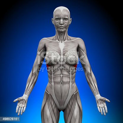 istock Serratus Anterior - Female Anatomy Muscles 498526151