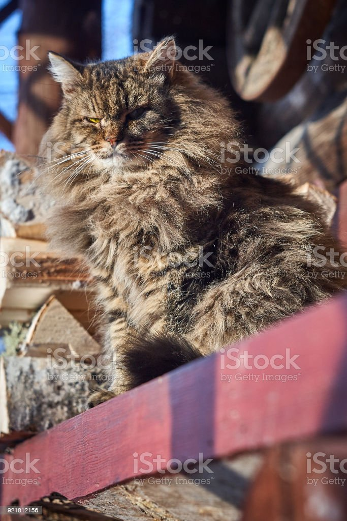seruious look siberian cat on bench stock photo