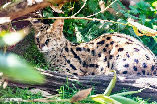 A Serval cat lying on the ground in an enclosure at the Cat Survival Trust Centre at Welwyn.  The trust does a huge amount to protect and rehome big cats from failing zoos or private collectors and is part of the world wide cat breeding programme.