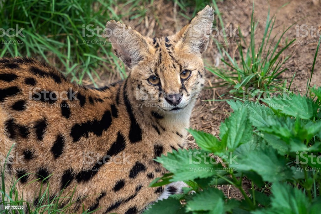Serval cat beautiful animal and his portrait stock photo more serval cat leptailurus serval beautiful animal and his portrait royalty free stock voltagebd Image collections