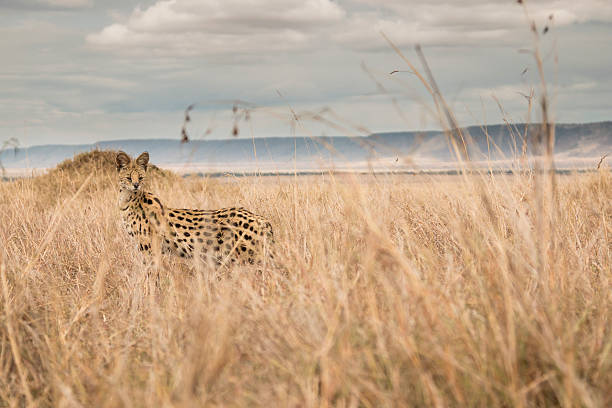 Serval cat from ground level stock photo