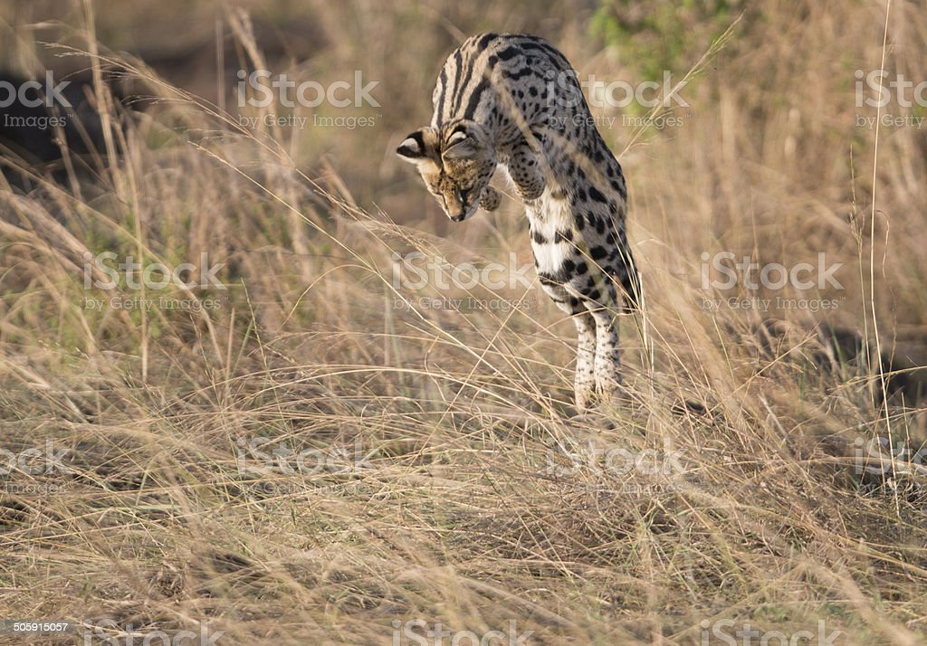 Serval cat showing hunting prowess stock photo