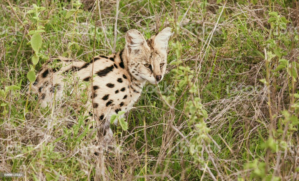 Serval in african savanna royalty-free stock photo