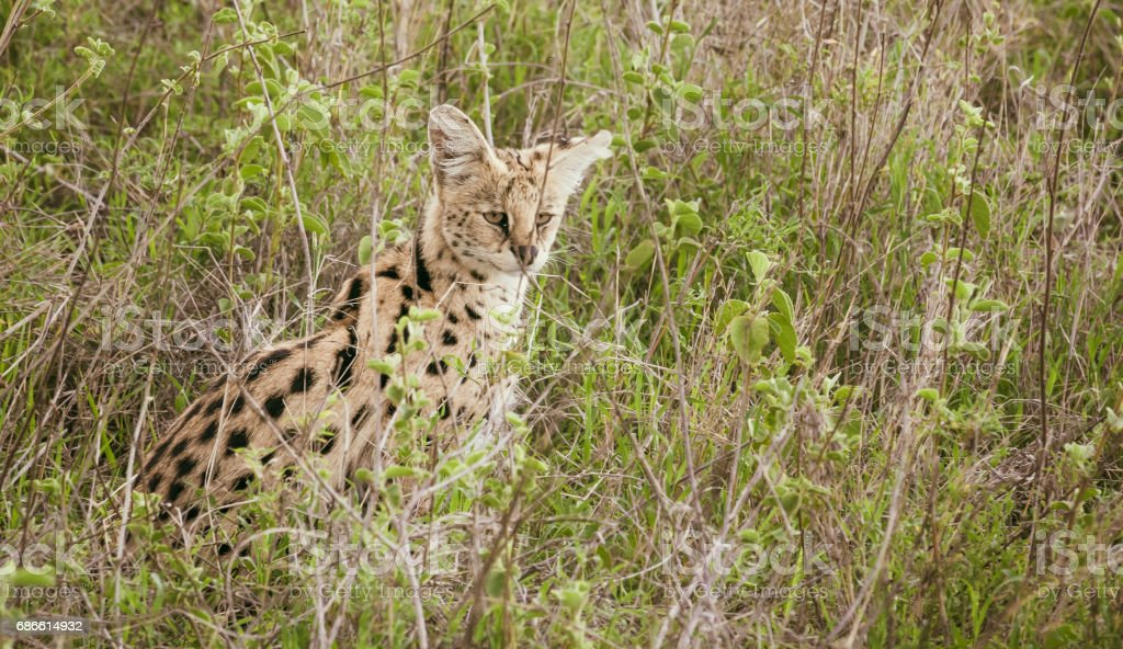 Serval in african savanna photo libre de droits