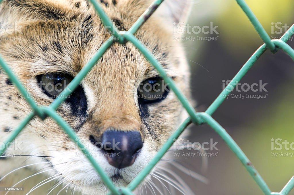 Serval-Wild animal in captivity royalty-free stock photo