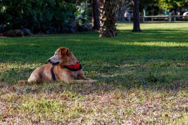 Service animal emotional support golden retriever dog stock photo