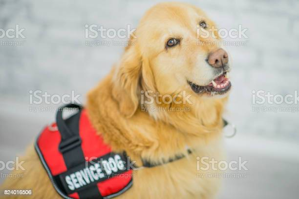 Service dog picture id824016506?b=1&k=6&m=824016506&s=612x612&h=h1hgbaotjrleywxkwvmvq8zexphz5vvphnyapogsigw=