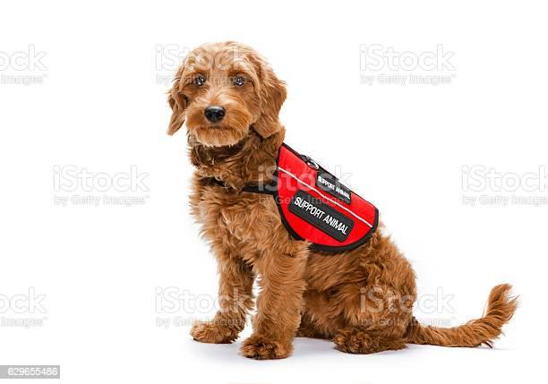 Service dog portrait on white background picture id629655486?b=1&k=6&m=629655486&s=612x612&h=csfxgfr5dn2vzy8 hwacaplbw ewkmwzhrfltqzm3cs=