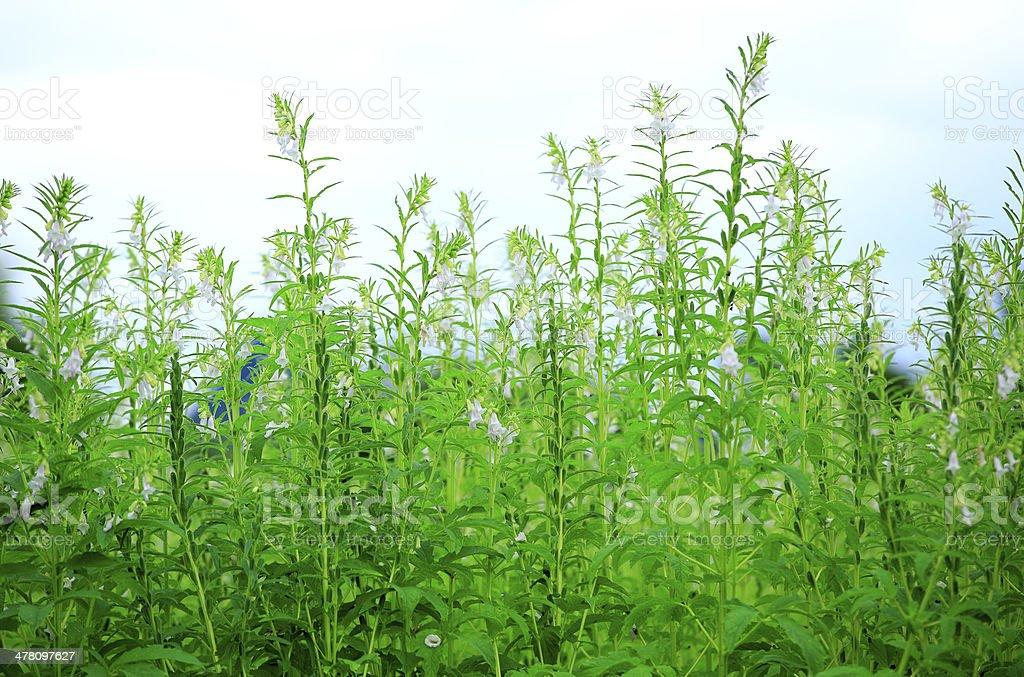 Berühmt Sesampflanzen Stockfoto und mehr Bilder von Agrarbetrieb - iStock @LG_67
