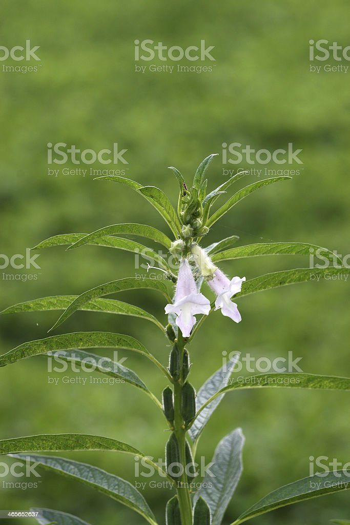 sesame flower royalty-free stock photo