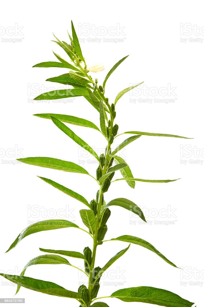 Sesame flowering stock photo