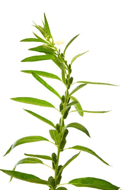 Sesame flowering stock photo
