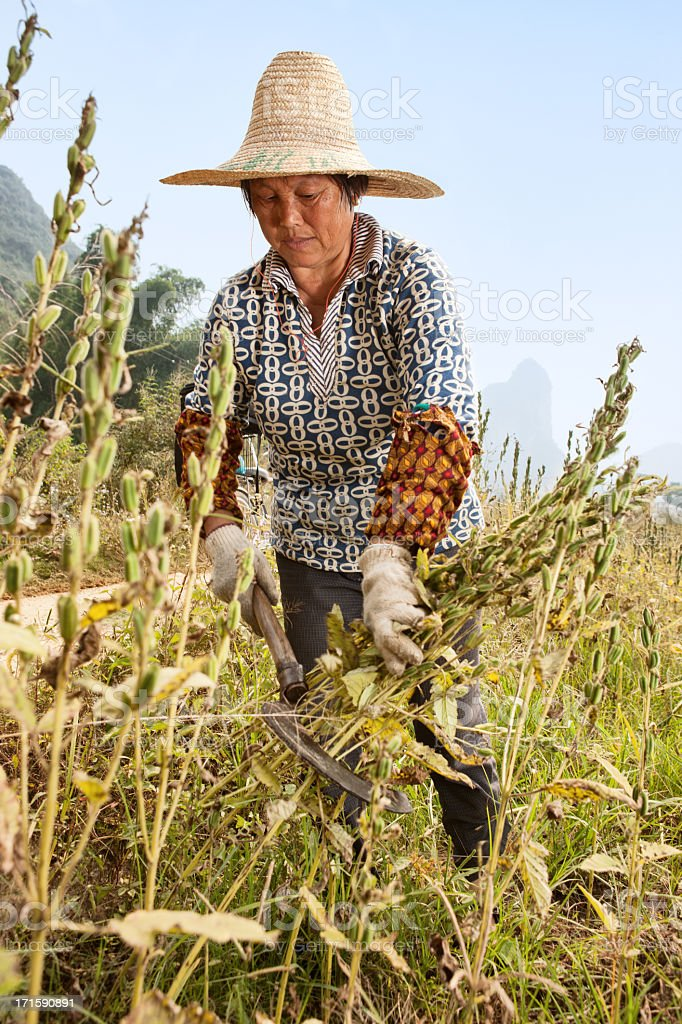 Sesame harvest stock photo