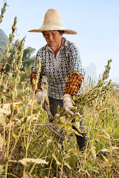 Sesame harvest stock photo