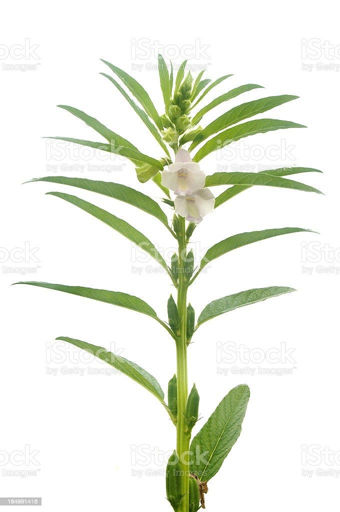 Sesame plant royalty-free stock photo