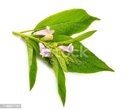 istock Sesame plant with flowers isolated on white background 1199827197