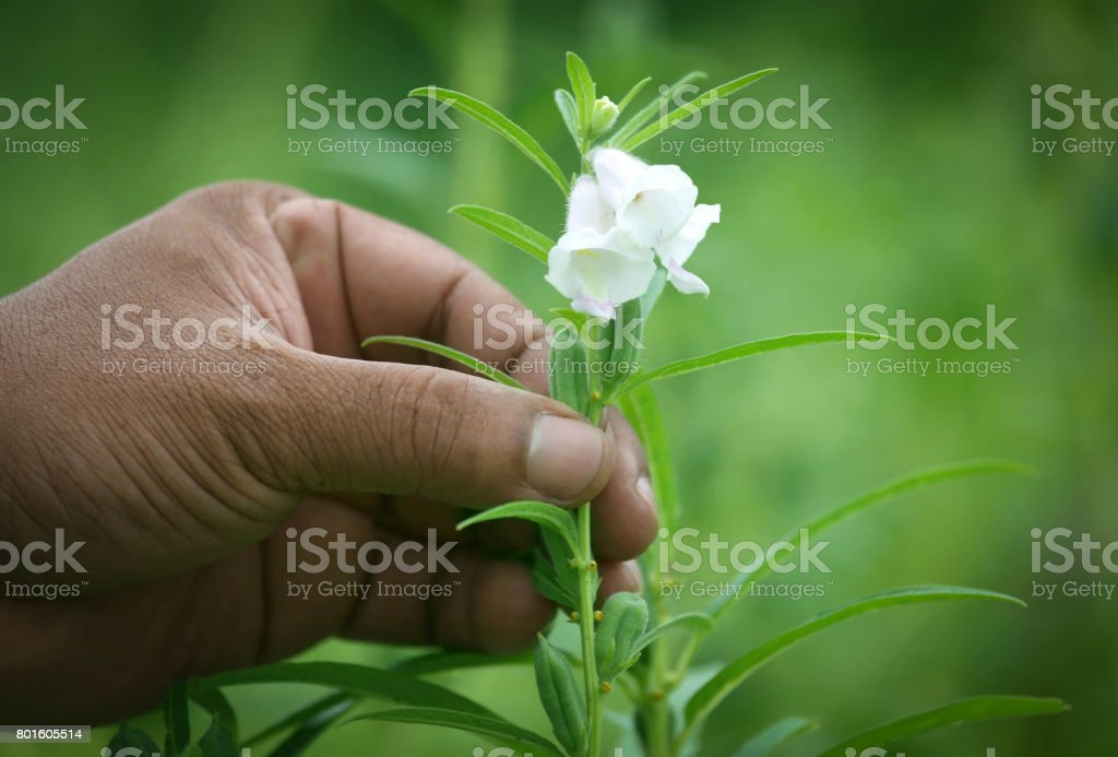 Sesame pods holding by hand stock photo