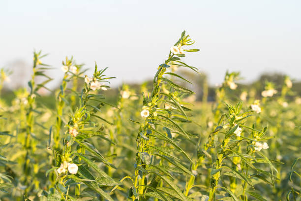 sesame seed flower on tree in the field - sesame stock photos and pictures