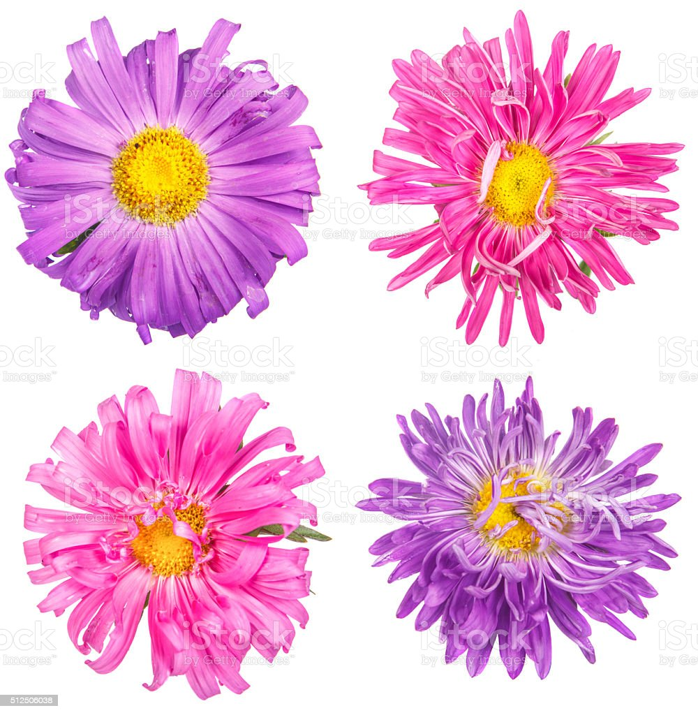 Set asters flower isolated on white background stock photo