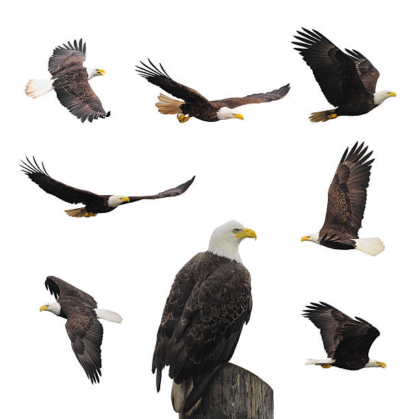 set bald eagles. - eagle stock photos and pictures