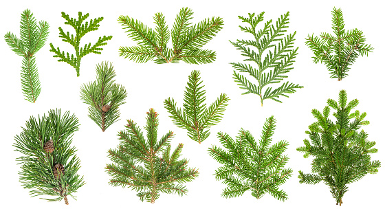 Set coniferous tree branches. Spruce, pine, thuja, fir twigs