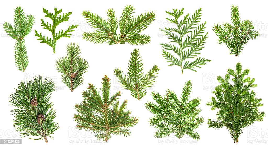 Set coniferous tree branches. Spruce, pine, thuja, fir twigs - foto de stock