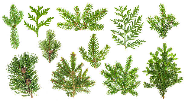Set coniferous tree branches. Spruce, pine, thuja, fir twigs stock photo