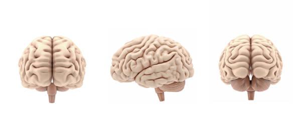 3d set brillante cerebro renderizado aislado sobre fondo blanco - brain fotografías e imágenes de stock