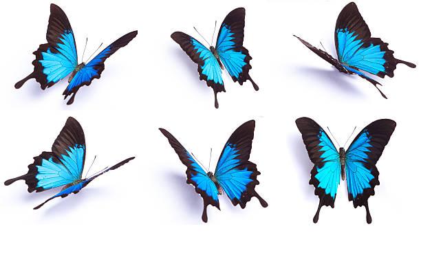 Juego de 6 mariposa azul aislado sobre fondo blanco - foto de stock