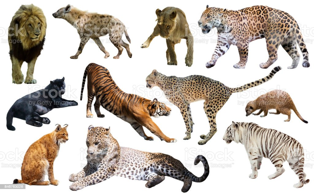 Set of African predators isolated over white stock photo
