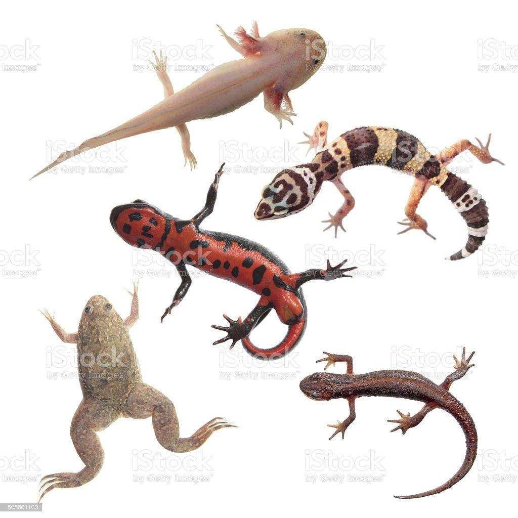 Juego de anfibios y reptiles aislado sobre fondo blanco - foto de stock
