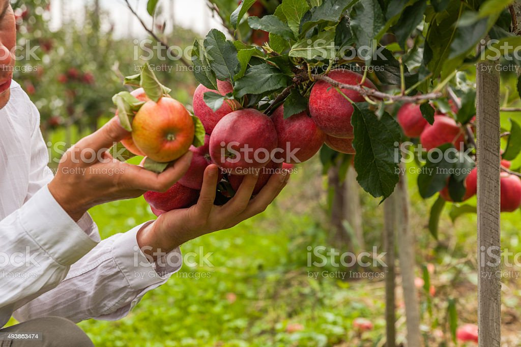 Set of apples on Lake Constance Germany stock photo