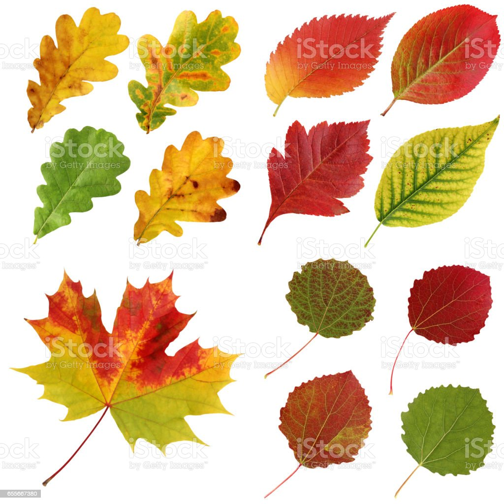 Set of autumn leaves, isolate. stock photo