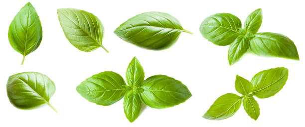 Set of Basil leaf isolated on white background. Macro. Top view. stock photo