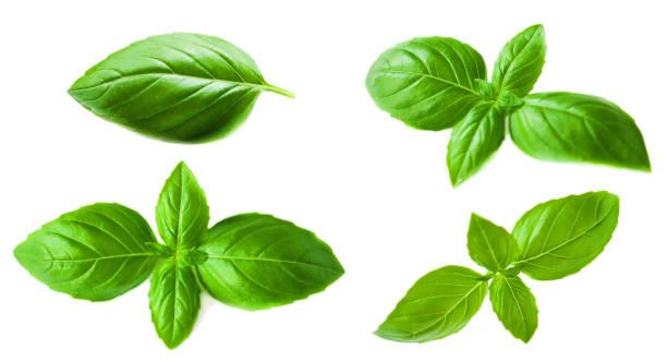 """set of basil leaves isolated on white background. macro. top view. flat lay""""n - liść mięty przyprawa zdjęcia i obrazy z banku zdjęć"""
