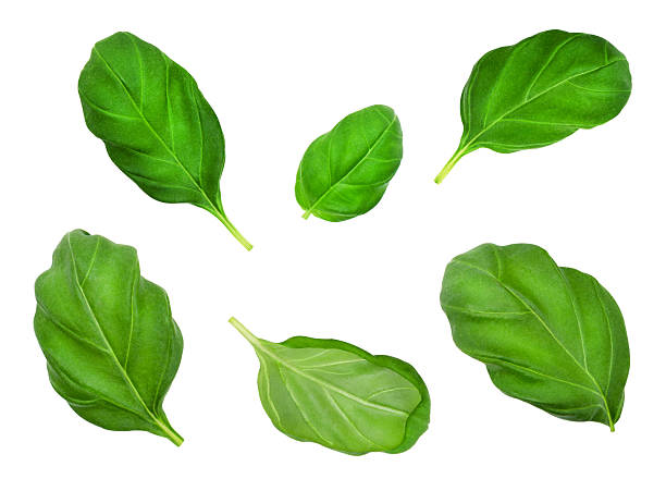 set of basil leaves. - basil stock photos and pictures