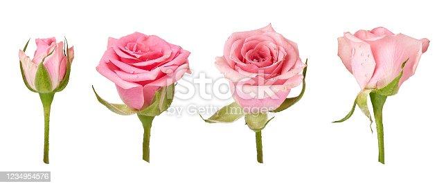 Set of beautiful rose flowers isolated on white background. Rose bud on a green stem. Studio shot.