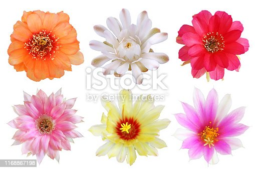 istock Set of bloom colorful flowers cactus 1168867198