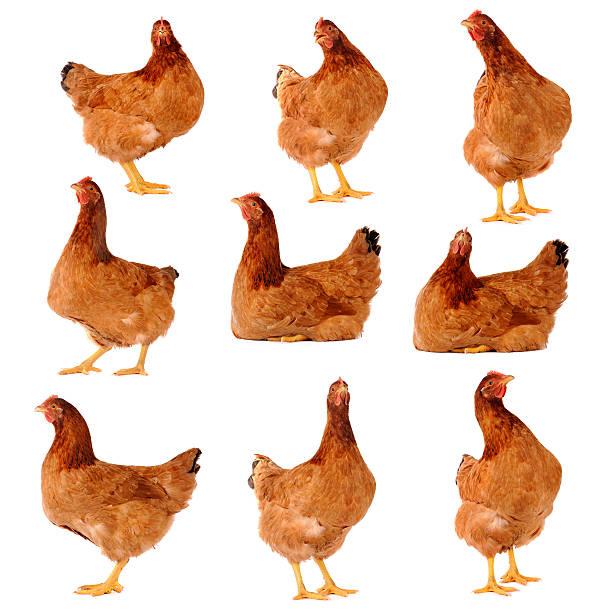 Juego de pollo marrón Aislado en blanco - foto de stock