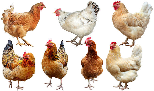 Set of  chicken isolated on white. stock photo