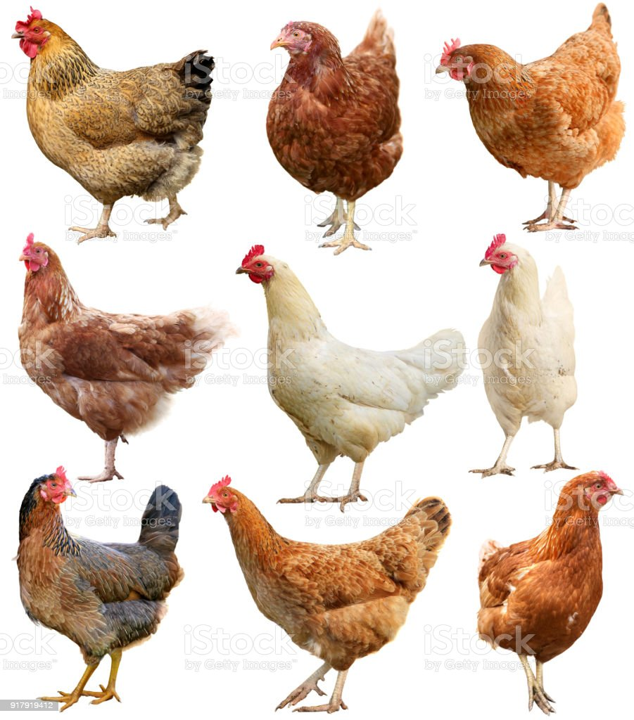 Set of chicken isolated on white stock photo