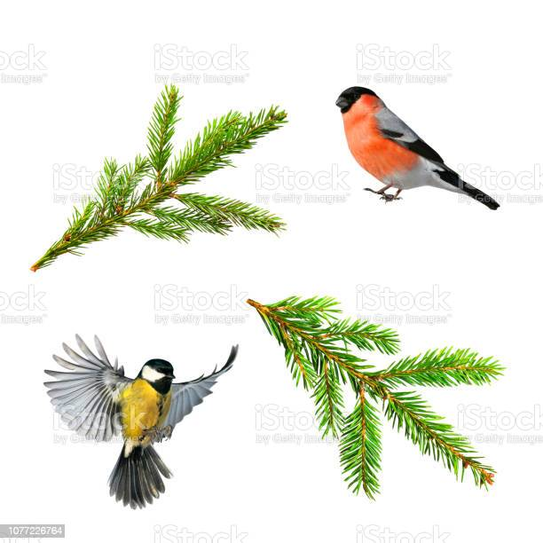 Set of christmas photos of bird tit and bullfinch branch of green on picture id1077226764?b=1&k=6&m=1077226764&s=612x612&h= 65maxr8fwhfnhofqwvdt1agwr0c7s3i cg a eirgk=
