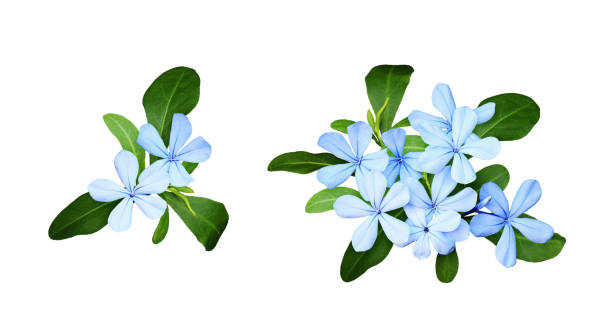 set of composition with plumbago flowers and leaves - flowers stock pictures, royalty-free photos & images